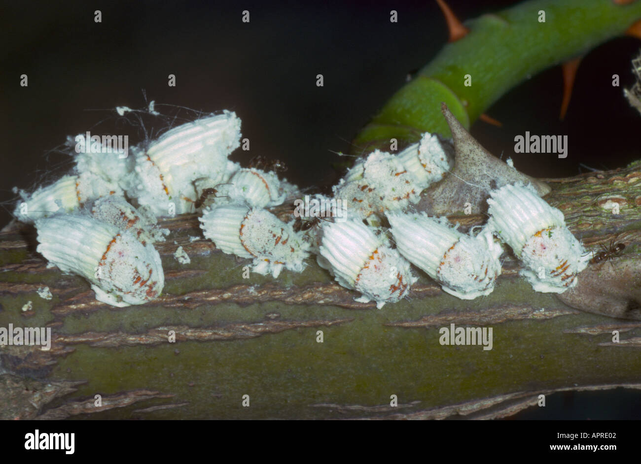 Scale Insects Icerya Purchasi Colony On Rose Stem Stock Photo