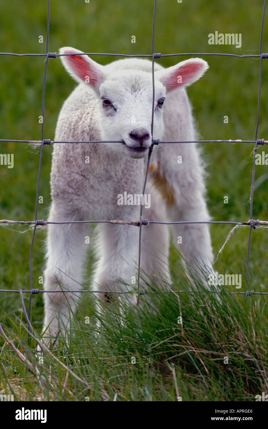 Milksheep Stock Photos & Milksheep Stock Images - Alamy