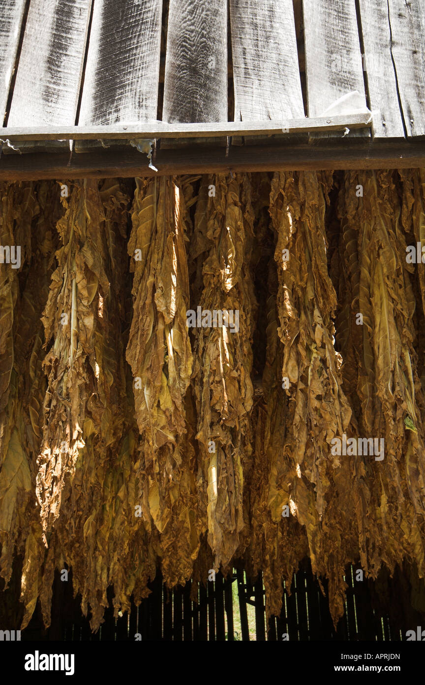 harvested tobacco leaves hanging in barn to dry tennesse USA - Stock Image