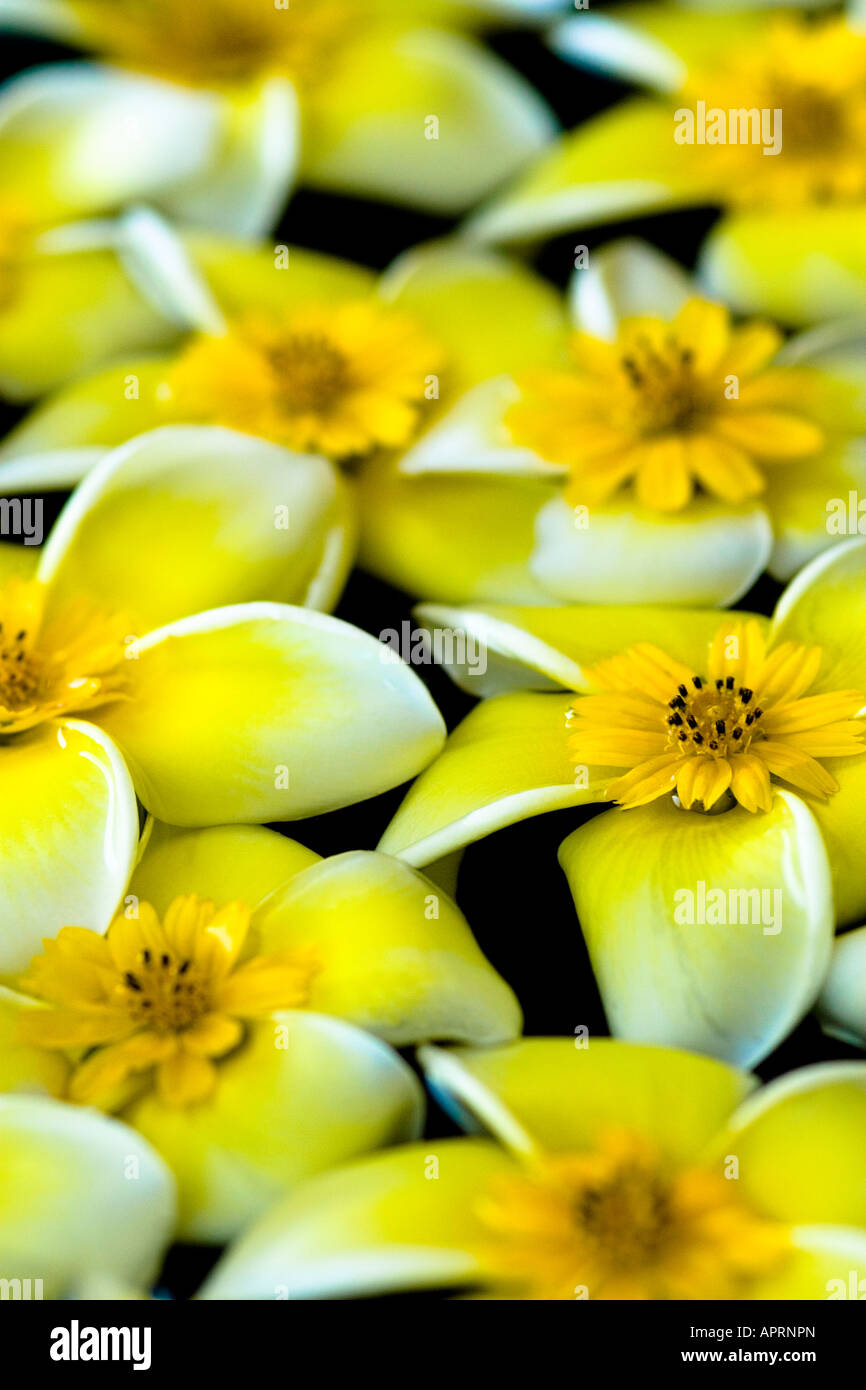 Flower Arrangement With White Frangipani Flowers With Yellow Flower