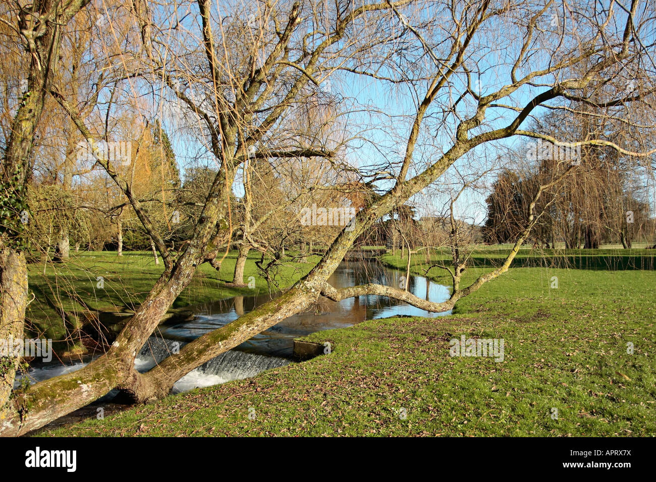Weeping Willow tree leaning over stream at West Dean Gardens, Sussex, England Stock Photo