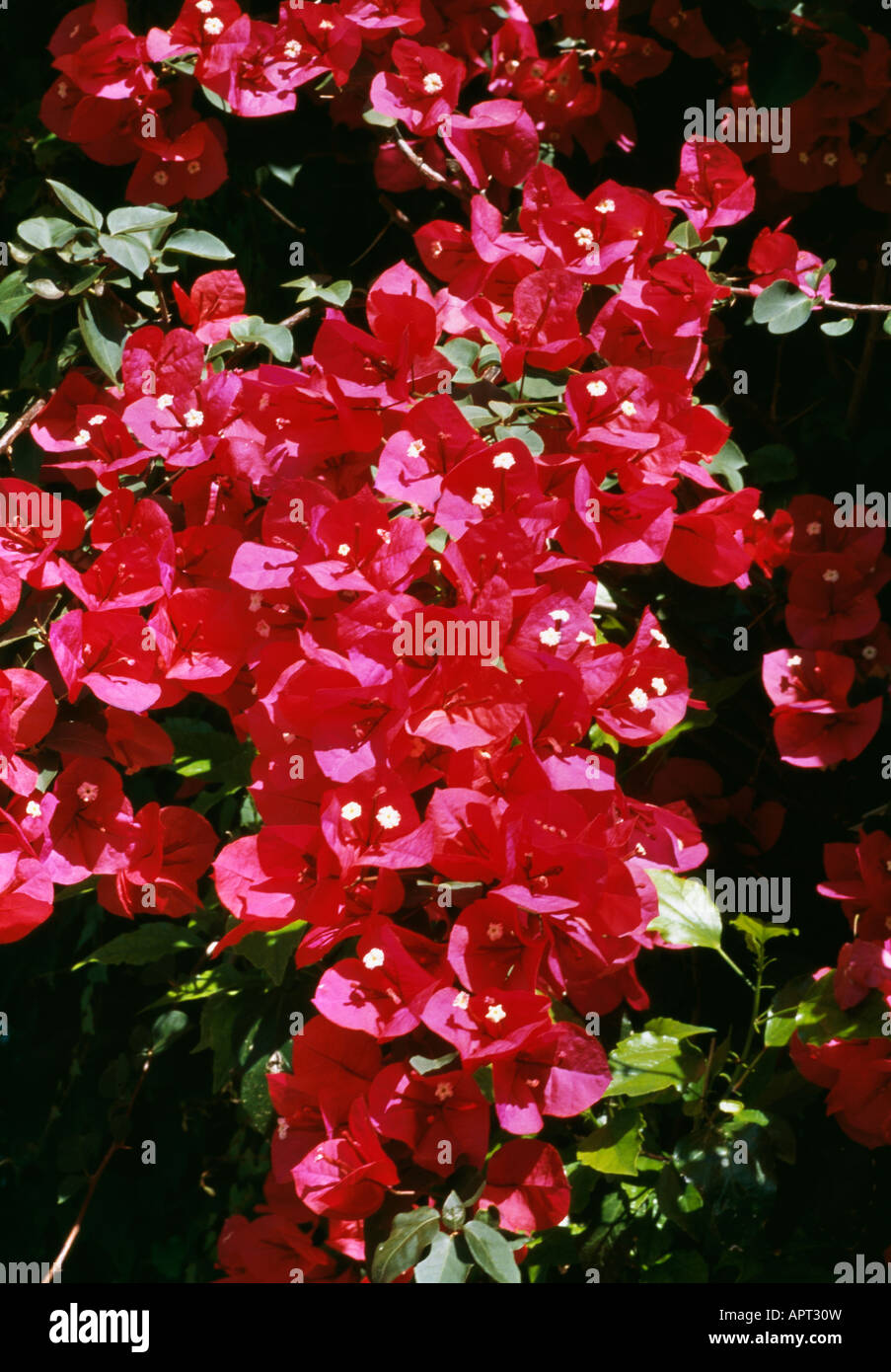 Bougainvillea spectabilis magenta red an exotic attack of seduction enlighting the garden - Stock Image