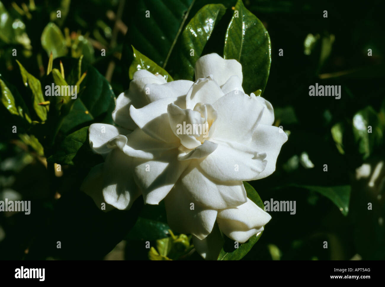 Gardenia small enchanting white flower its fragrance a transport to gardenia small enchanting white flower its fragrance a transport to paradise mightylinksfo