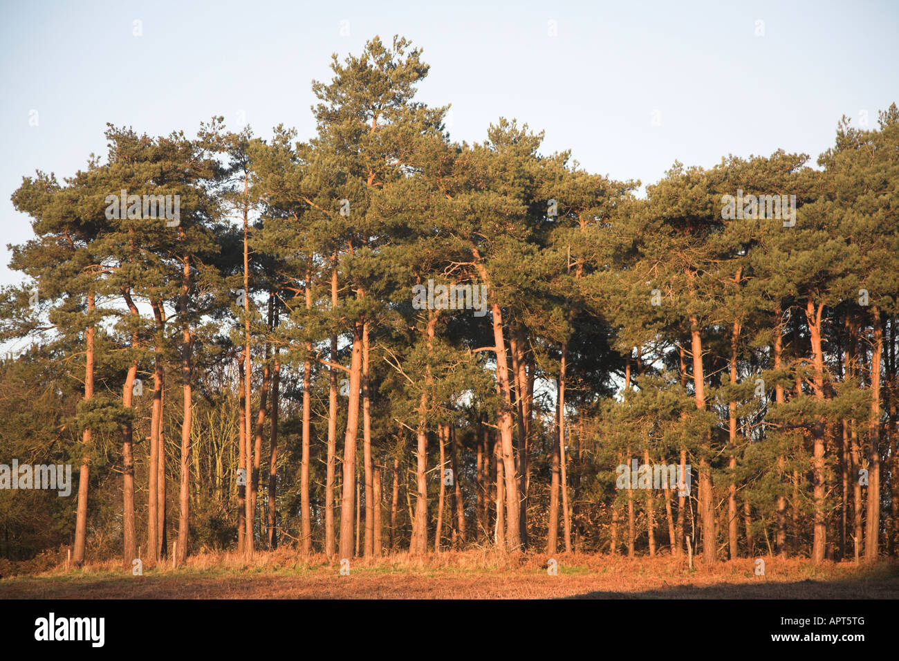 Conifer trees of Suffolk Sandlings Butley, Suffolk, England - Stock Image
