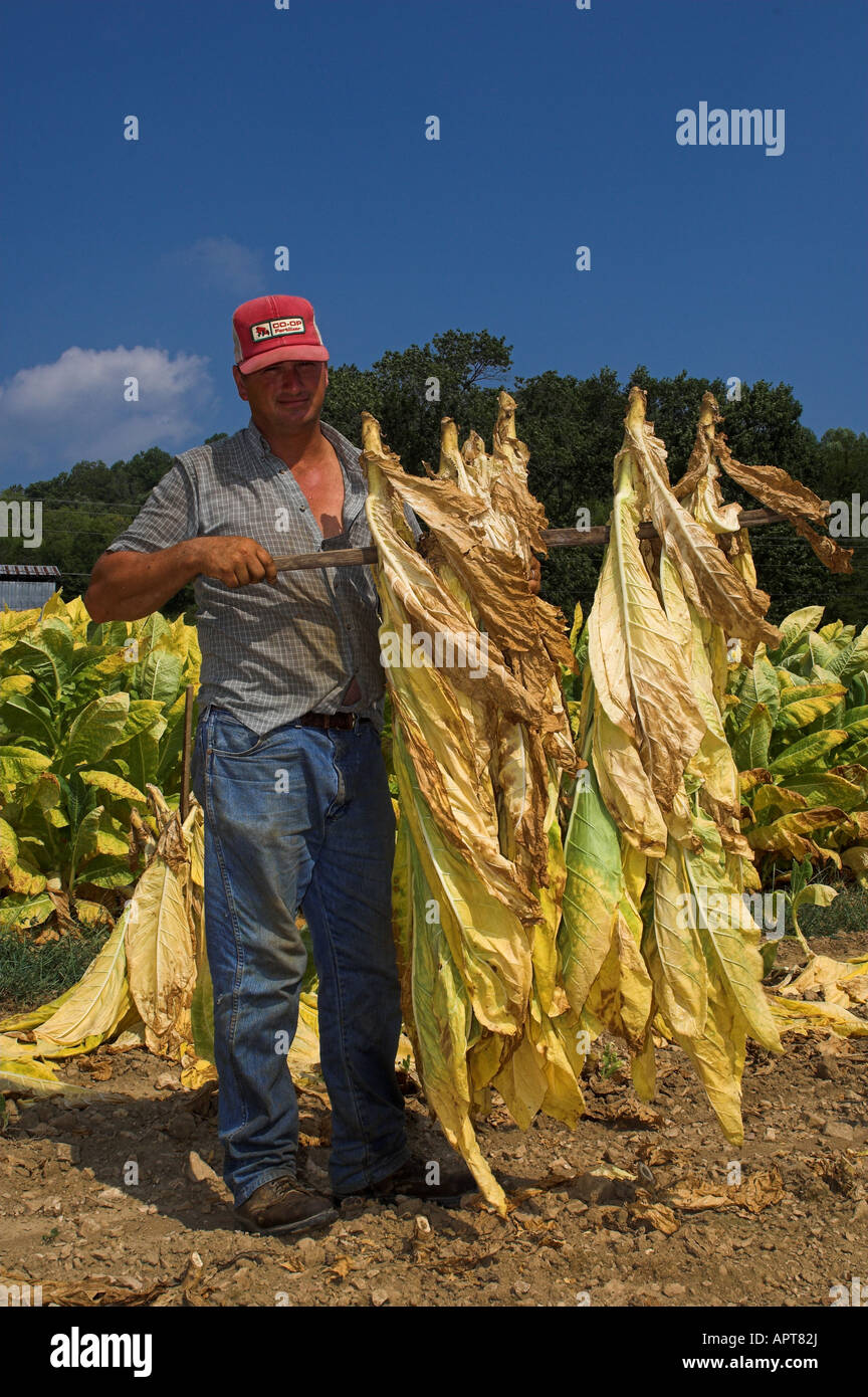 Farmer inspecting crop of Tobacco Tennesse USA - Stock Image