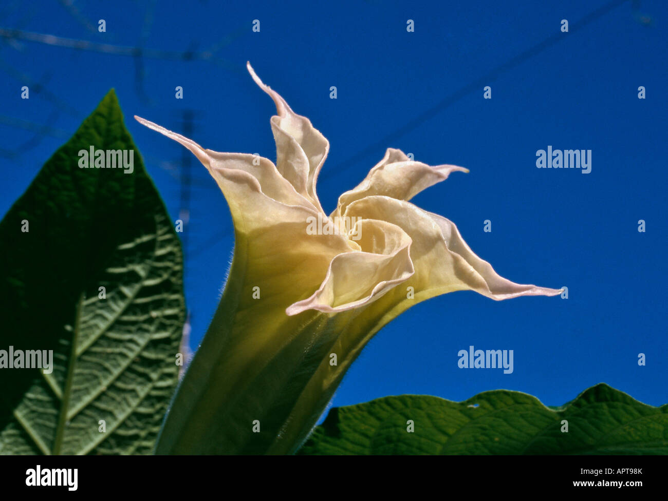 Brugmansia Datura pinkish white unusual shape detached against a blue sky - Stock Image