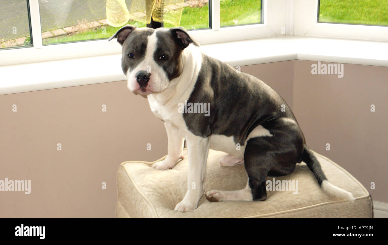 a pet Staffordshire bull terrier(blue) - Stock Image