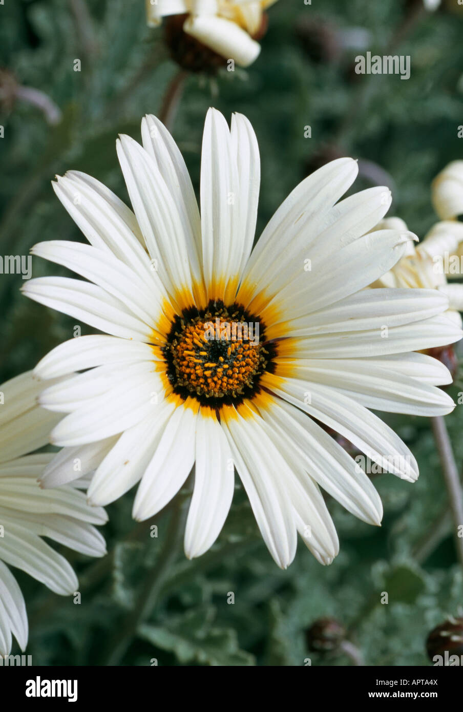 Gazania white corolla with centered rings of golden yellow to black and amber - Stock Image