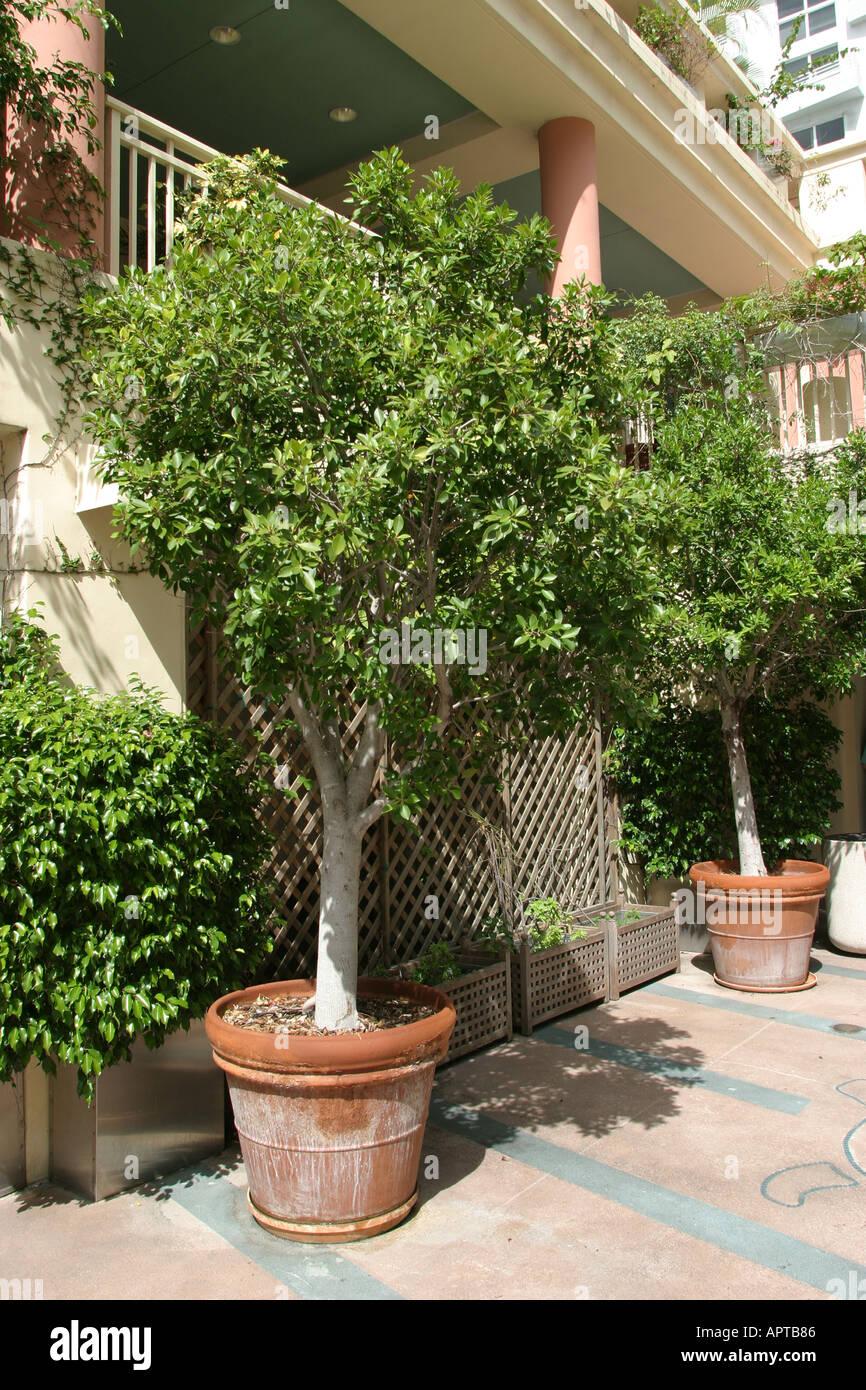 Miami Beach Florida Ocean Drive Ficus Tree Pot Stock Photo