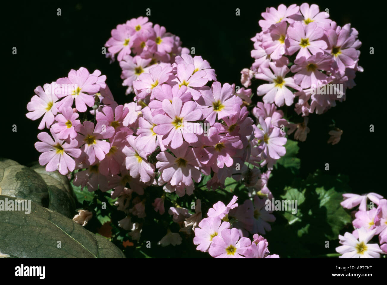 Pale pink star shaped stock photos pale pink star shaped stock primula candelabra pale pink umbels small dainty flowers stock image mightylinksfo