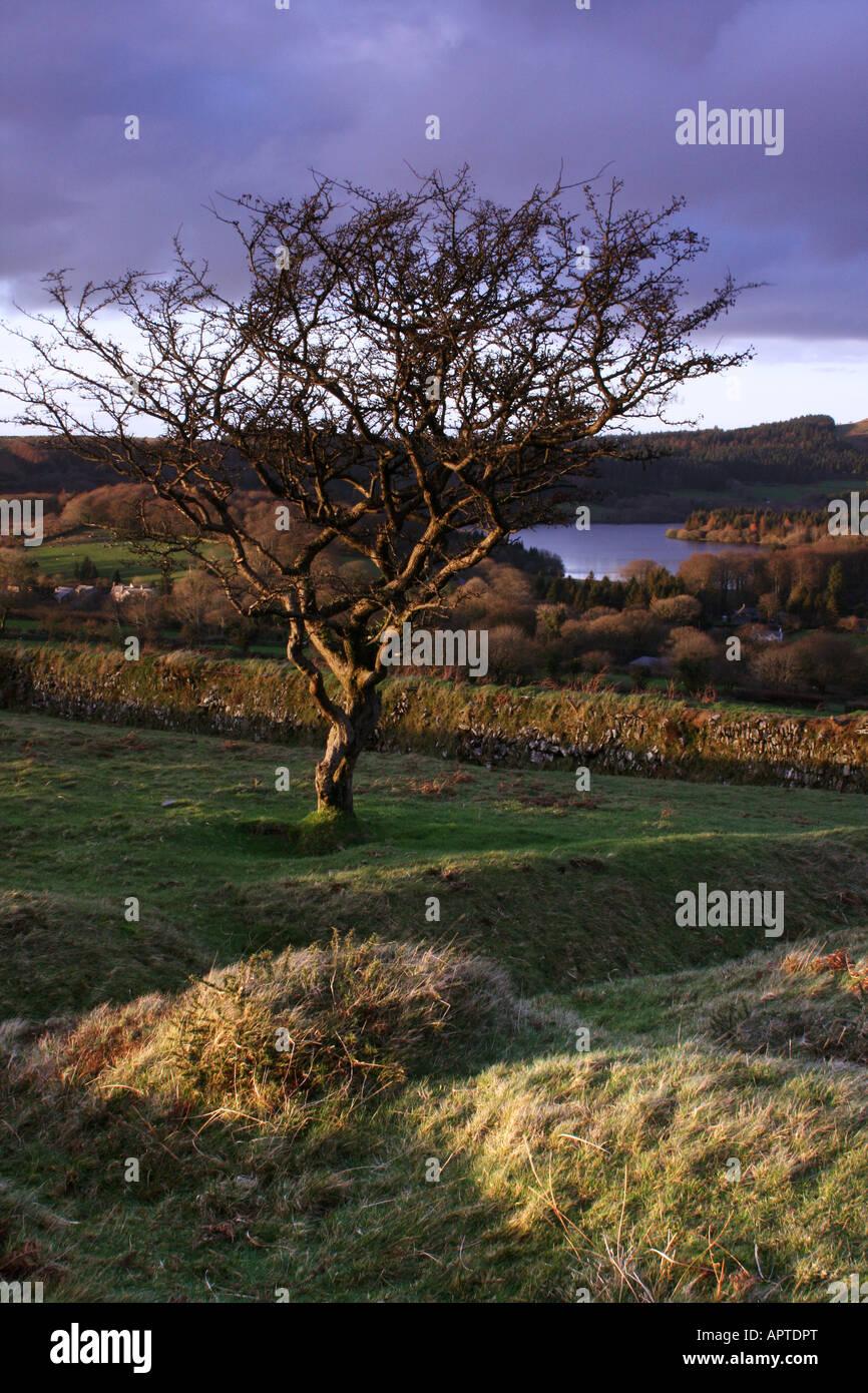 An old twisted hawthorn tree overlooks Burrator Reservoir on Dartmoor - Stock Image