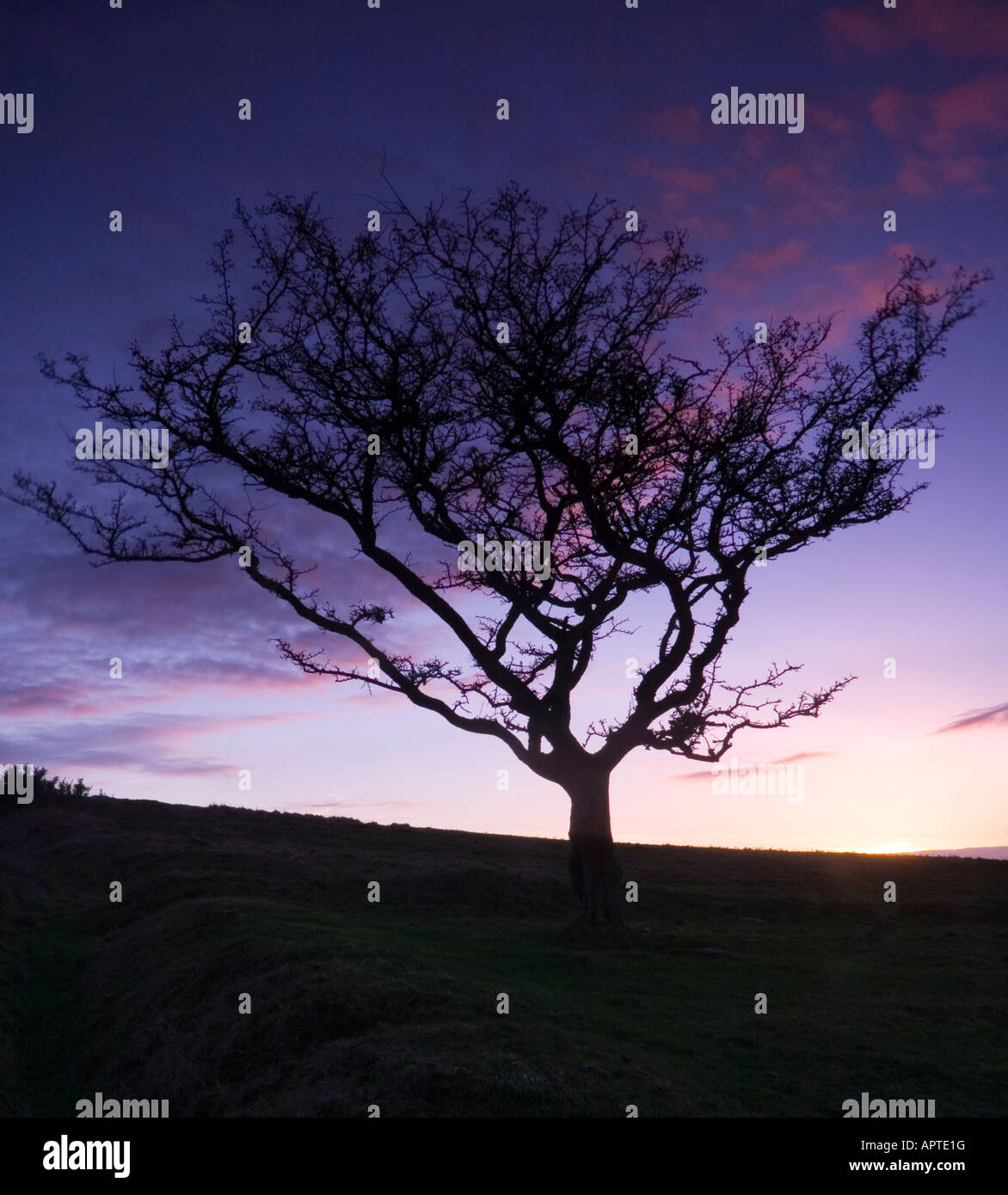 An old hawthorn tree silhouetted against the arly evening sky - Stock Image