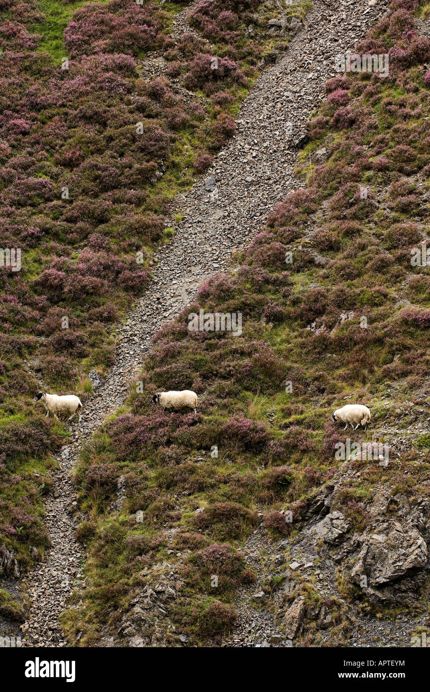 Scottish Blackface ewes crossing a heather covered moor on a track Dumfrieshire - Stock Image