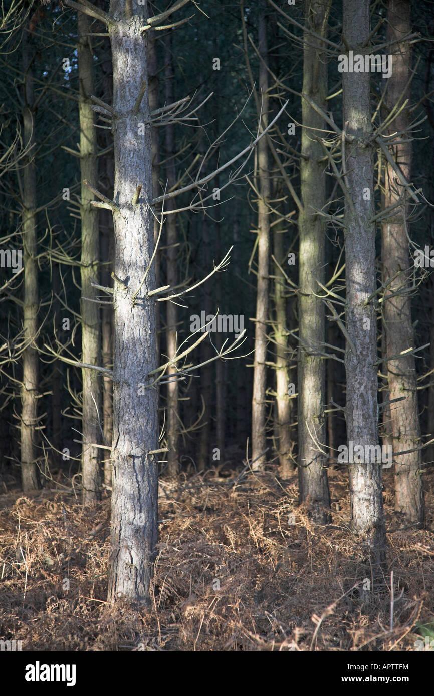 Conifer trees bracken winter Rendlesham Forest, Suffolk, England - Stock Image
