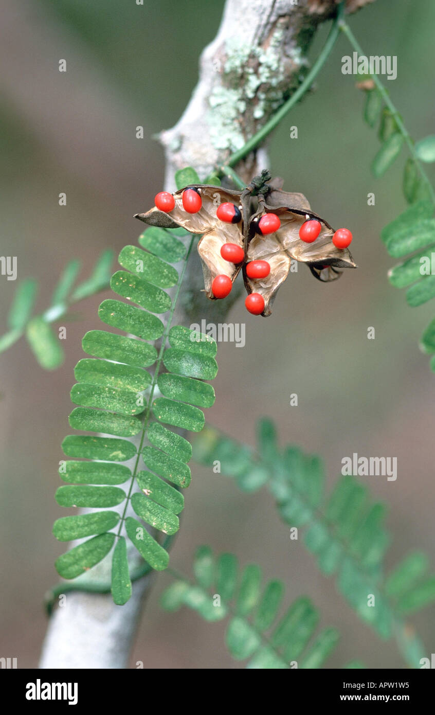 Abrus Precatorius Stock Photos Abrus Precatorius Stock Images Alamy