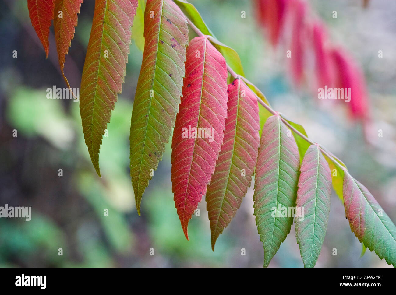 Turned Sumach leaves - Stock Image