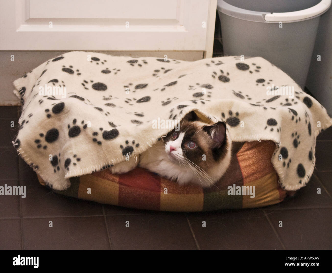 A young female Ragdoll kitten peeping out of her night time bed - Stock Image