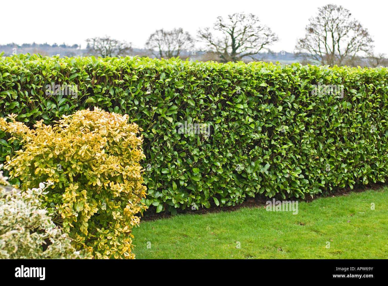 Neatly clipped laurel hedge in a Wiltshire garden UK - Stock Image