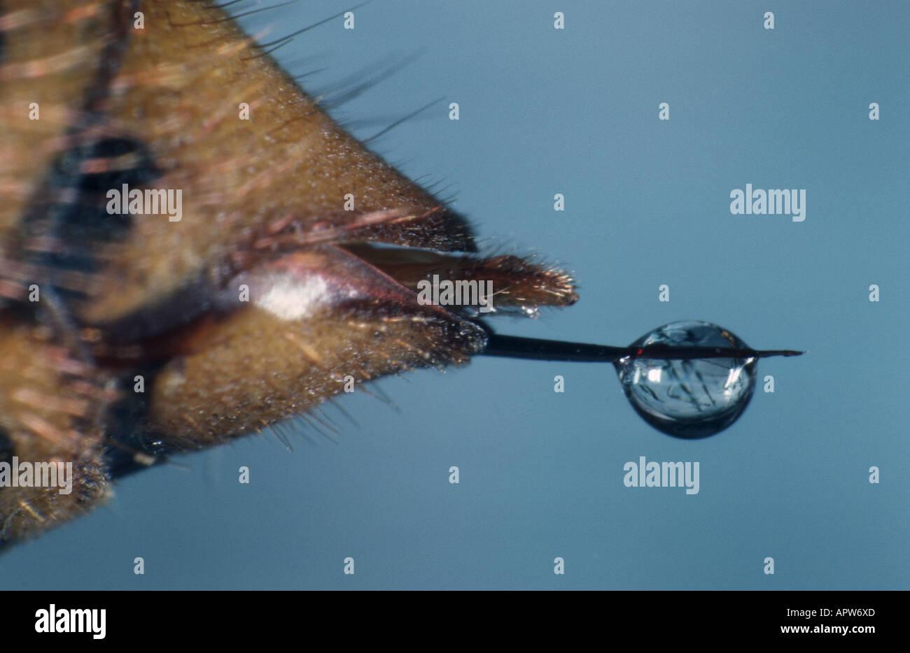 hornet, brown hornet, European hornet (Vespa crabro), sting at the abdomen - Stock Image