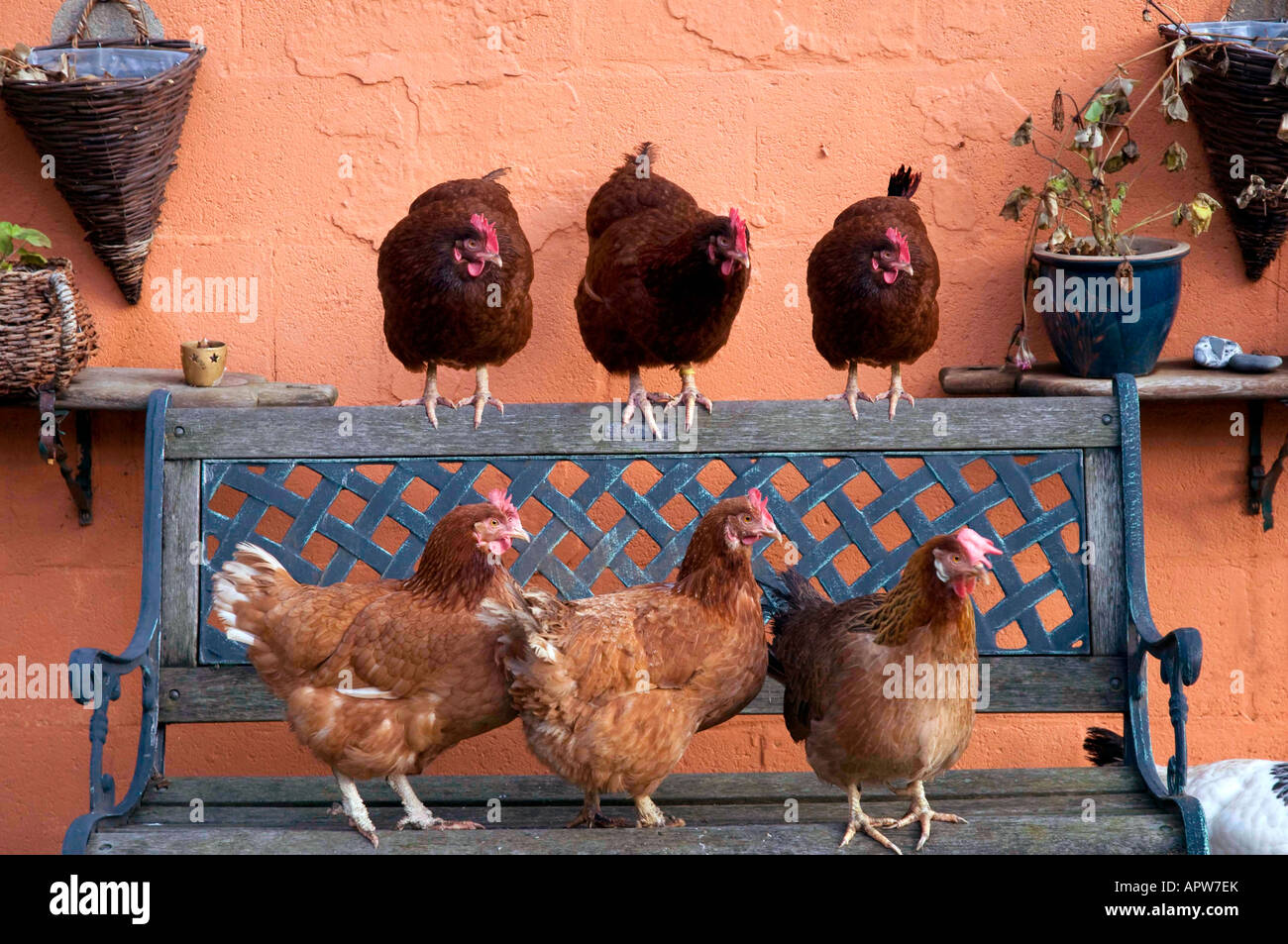 Domesticated Chickens in Garden, Northern England - Stock Image
