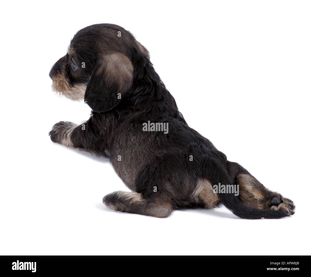 dachshund, sausage dog, domestic dog (Canis lupus f. familiaris), puppy from behind - Stock Image