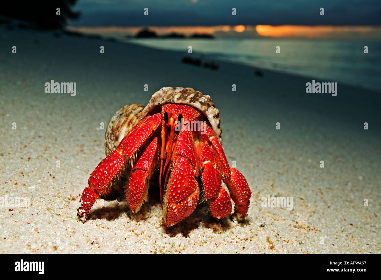 Hermit Crab Anomura spp Protect themselves by using empty shells of molluscs Dist Indian to Pacific Oceans - Stock Image