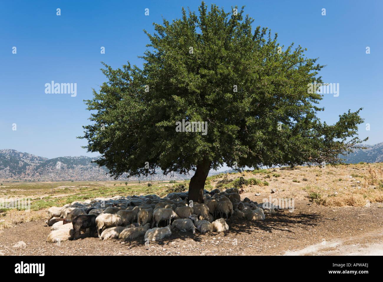 Sheep sheltering under a tree, Omalos Plain, Lefka Ori, Chania Province, Crete, Greece - Stock Image