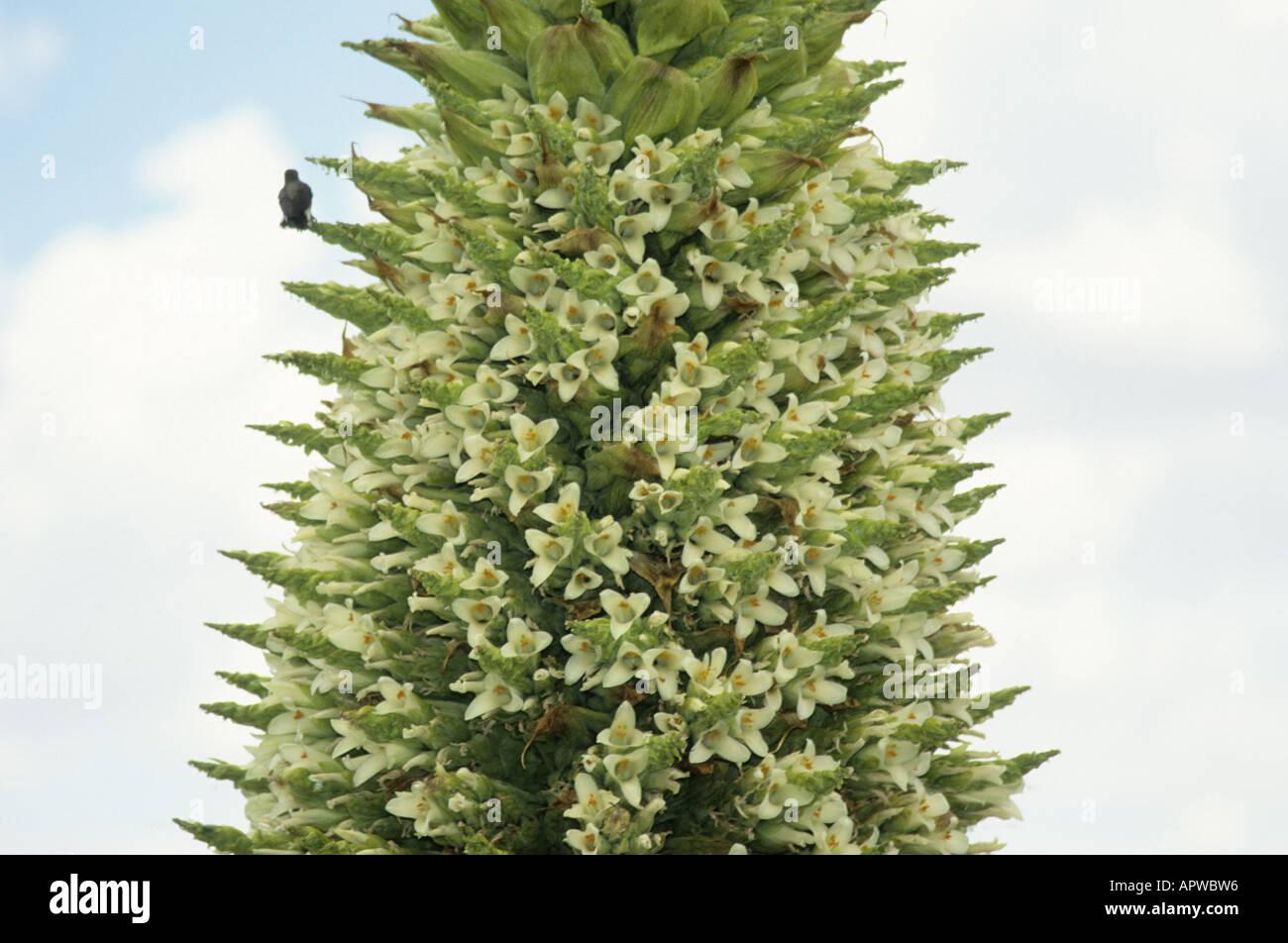 Bird sitting on a Puya Raimondii flower spike. Bolivia Stock Photo