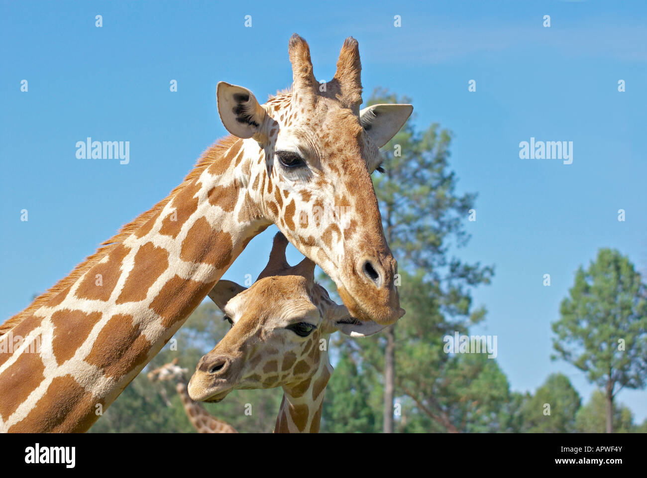a mother and baby giraffe together - Stock Image