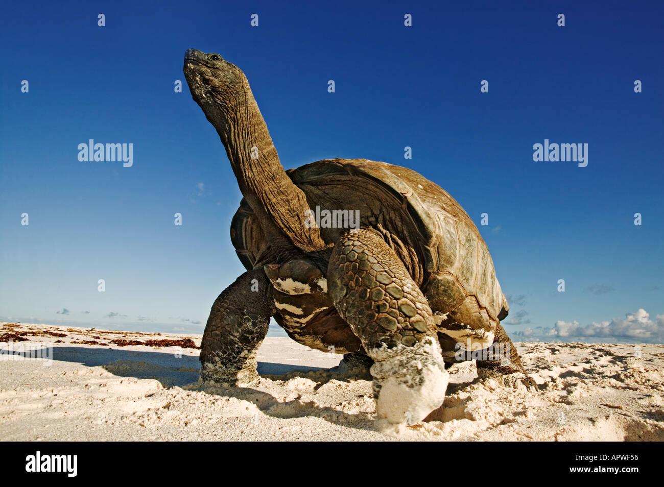 Giant tortoise Geochelone gigantea Vulnerable species On the beach Seychelles Cousine Island Dist Seychelles islands - Stock Image