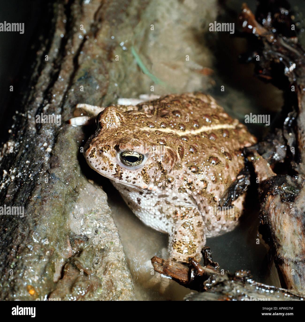 crapaud des joncs Bufo calamita Natterjack Toad Amphibia amphibians Amphibien animals Anura anurans Bufonidae Crapaud - Stock Image