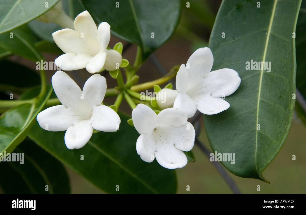 Stephanotis floribunda stock photos stephanotis floribunda stock stephanotis floribunda madagascar jasmine hawaii stock image izmirmasajfo