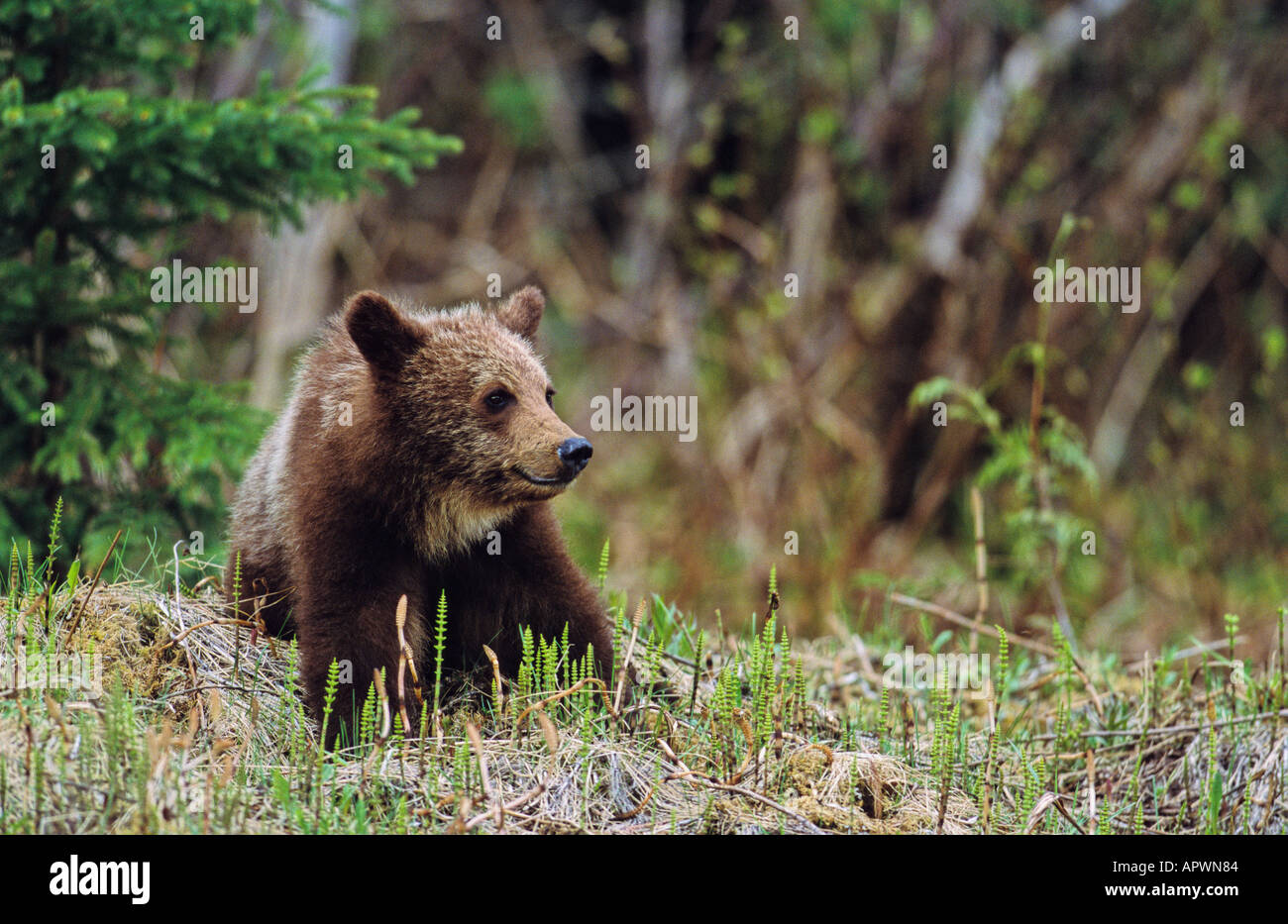 A cute grizzly bear cub sitting in a bed of horsetails Stock Photo