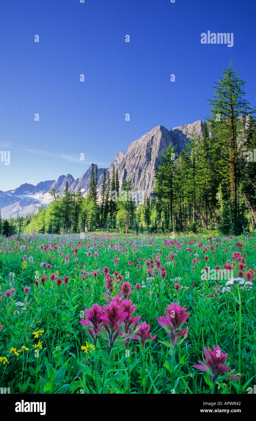 Wildflowers in the Canadian Rocky Mountains Kootenay National Park BC Canada - Stock Image