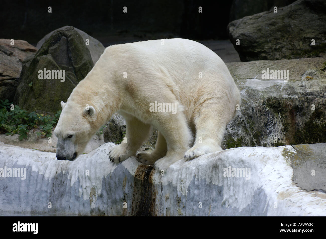 Polar bear gets ready to take a plunge in the pool at the Bronx Zoo in New York - Stock Image