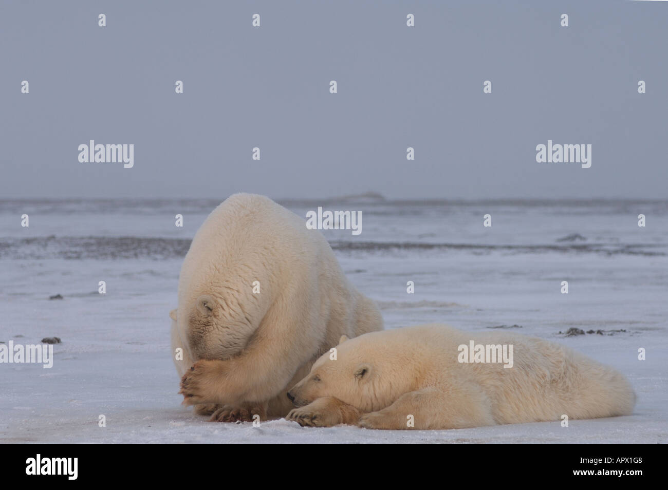 polar bear sow with yearling cub on the pack ice 1002 coastal plain of the Arctic National Wildlife Refuge Alaska Stock Photo