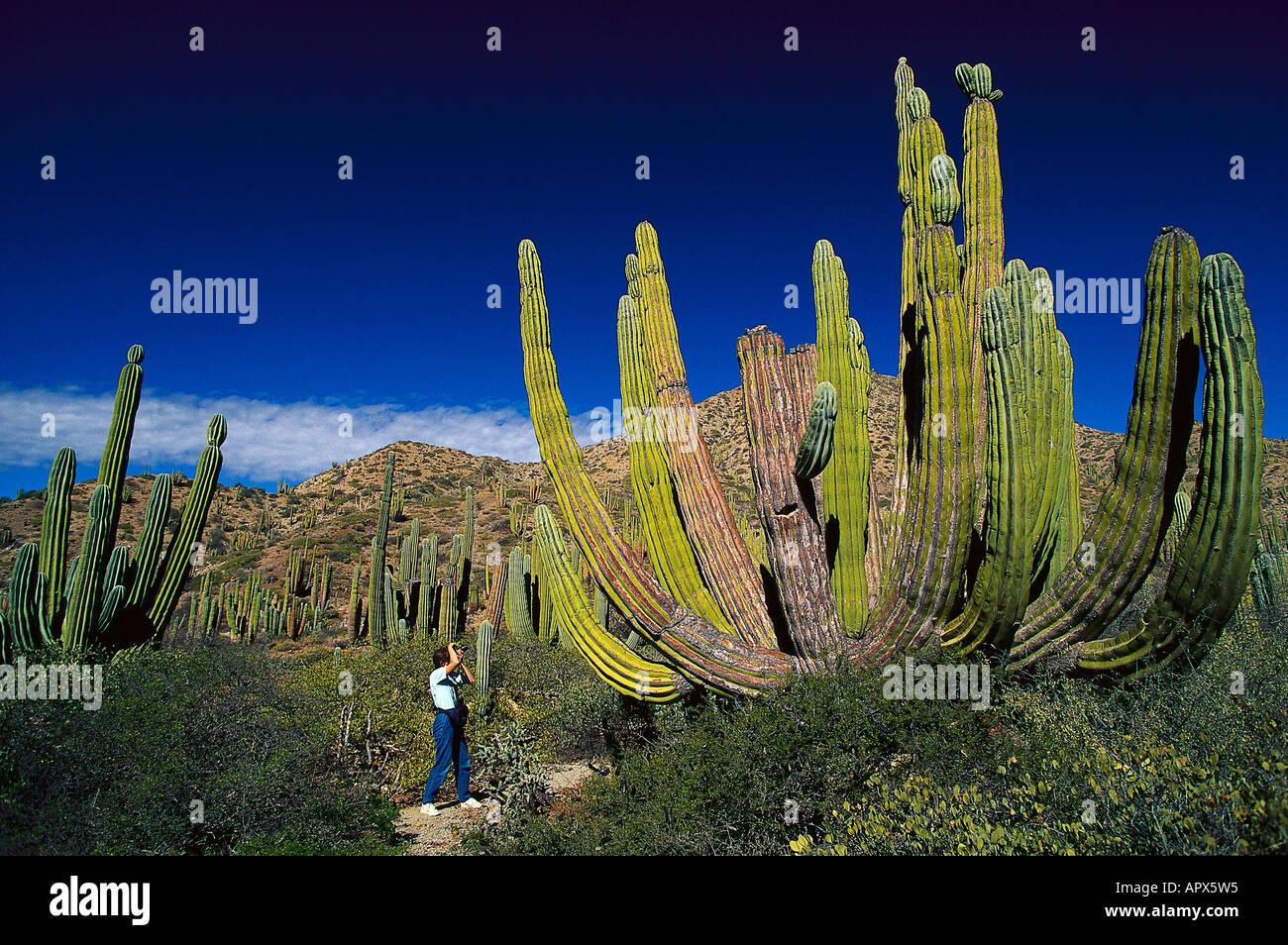 Cacti, Isla Catalan, Baja California Mexico - Stock Image