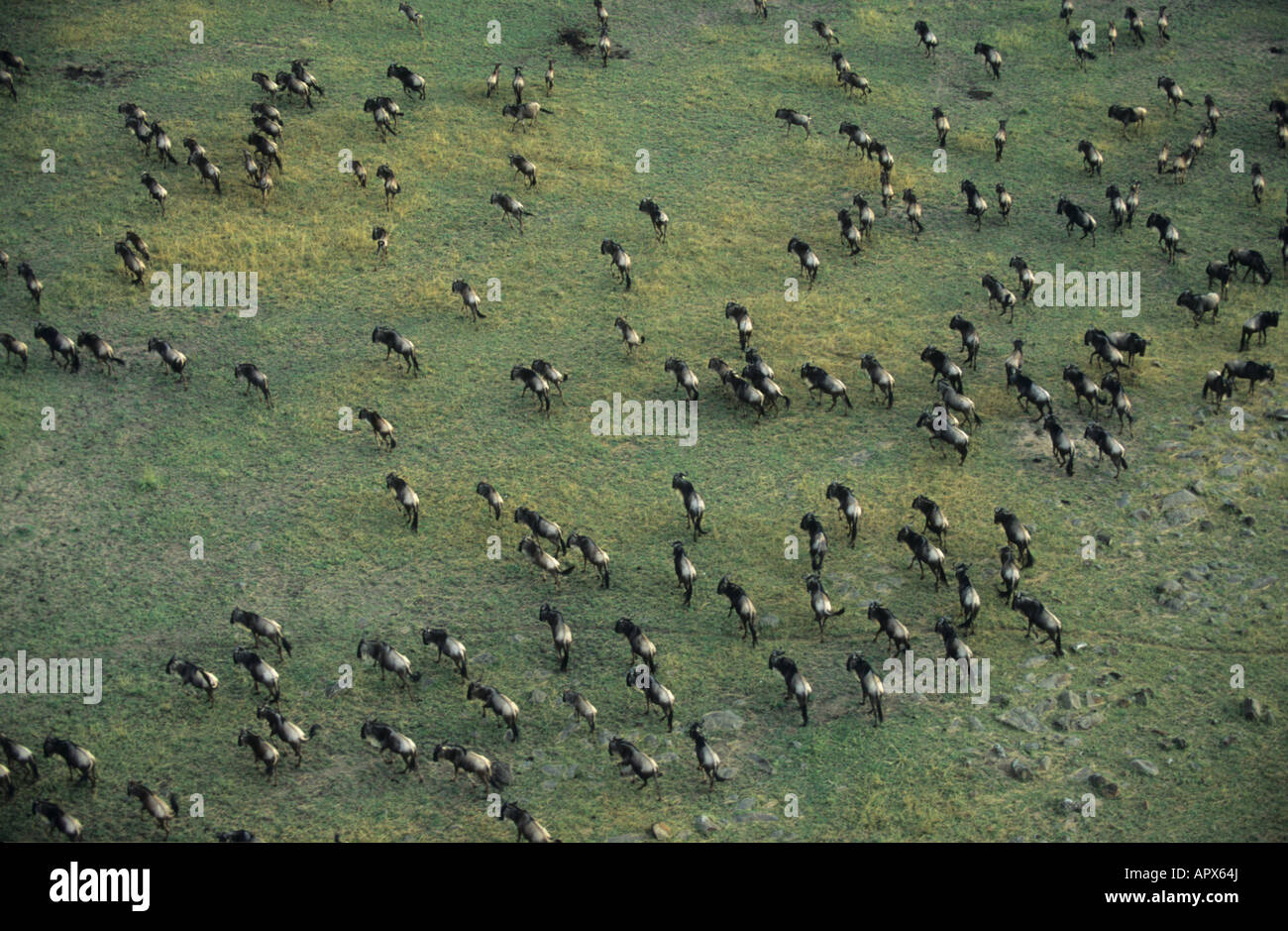Aerial view of a White bearded wildebeest herd (Connochaetes taurinus) during the migration - Stock Image