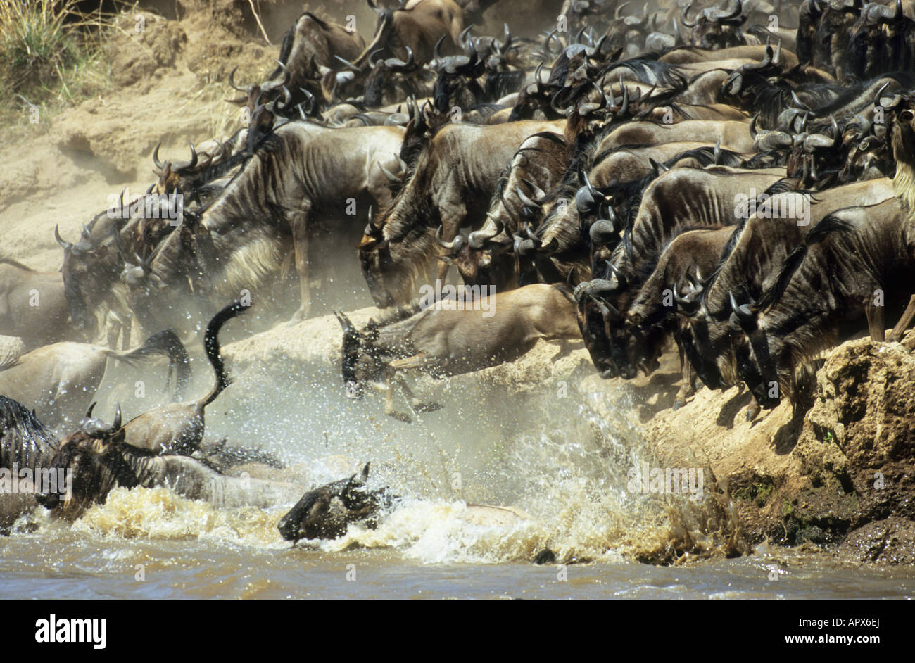 White-bearded wildebeest migration (Connochaetes taurinus albojubatus) with the animals leaping into the Mara River - Stock Image