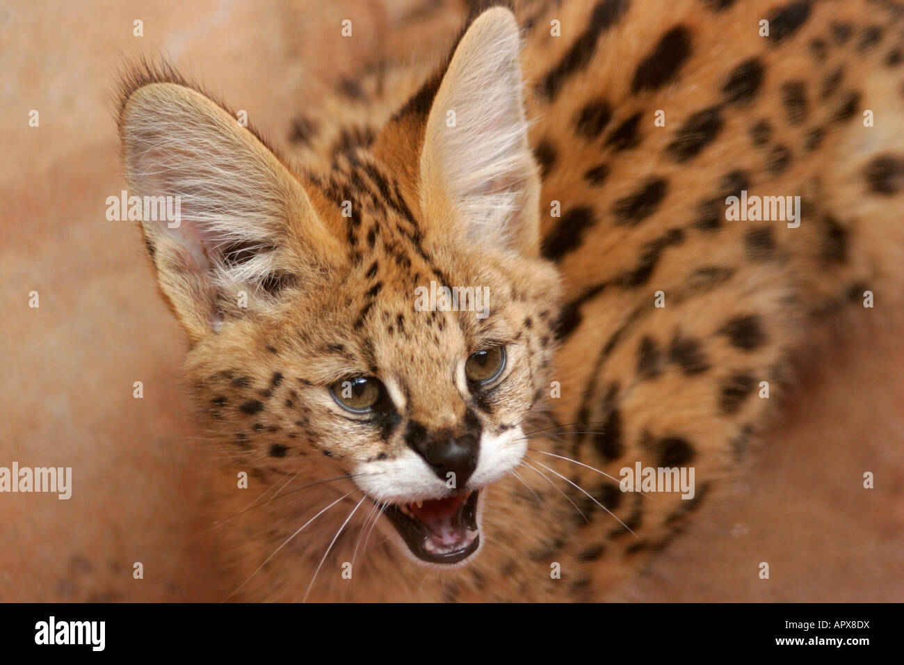 Close up of a young Serval snarling - Stock Image