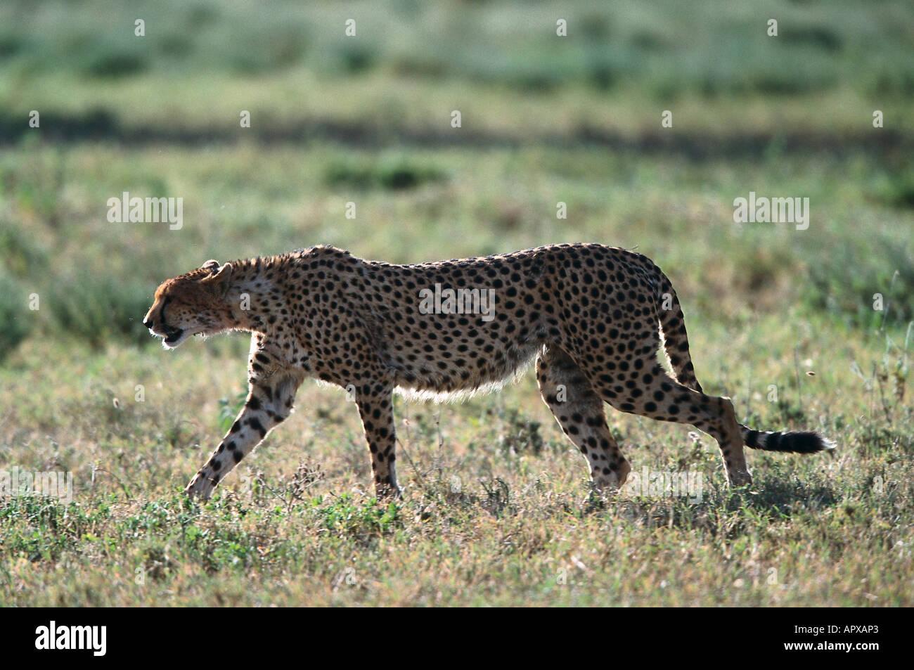 Cheetah, Serengeti NP Tansania - Stock Image
