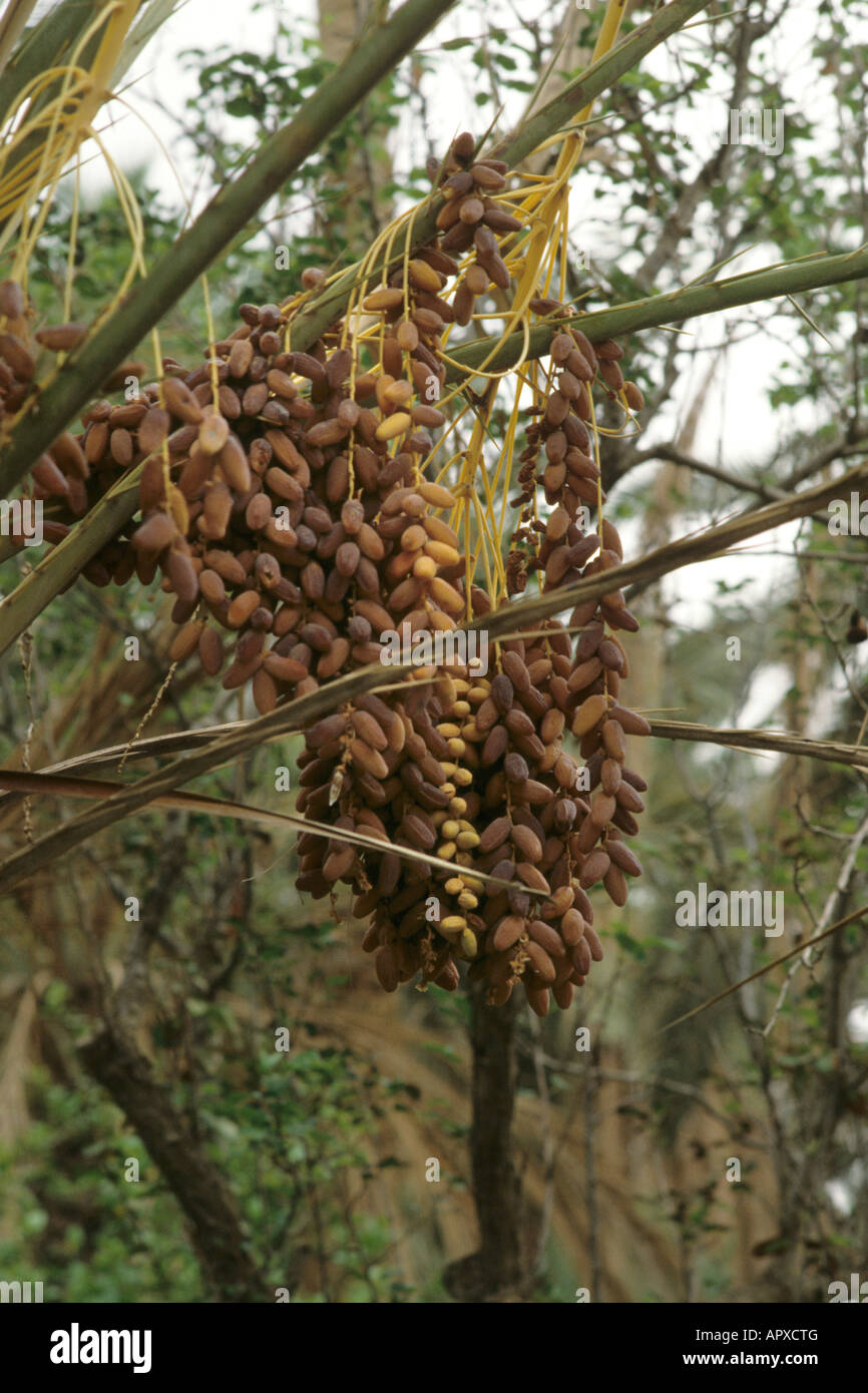 Large clusters of Dates on date palm at Nafta Stock Photo