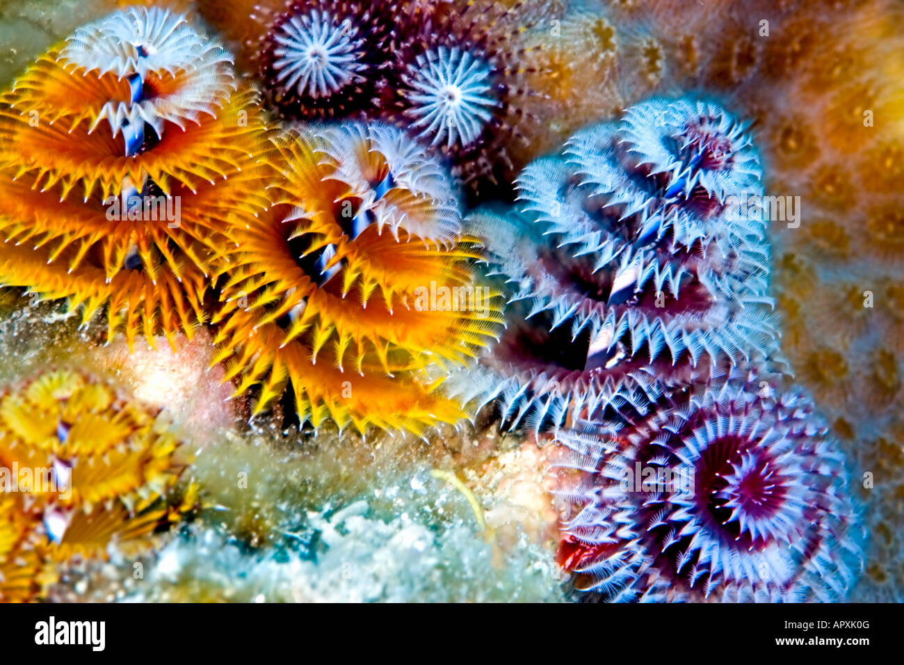 These Tiny Christmas Tree Worms Exhibit Diverse Colors At Their Site Stock Photo Alamy