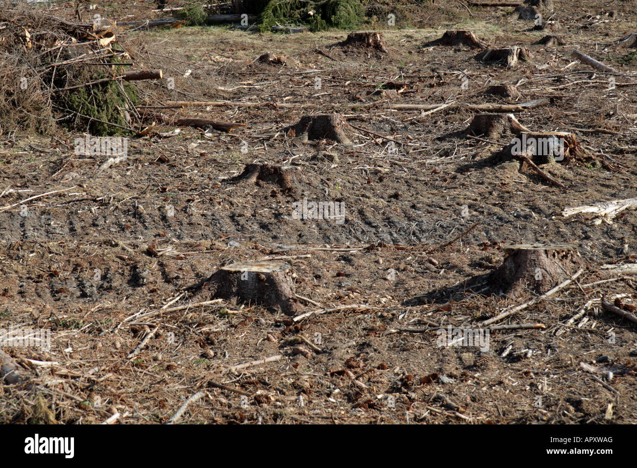 Tree stumps at a clear-cut pine tree forest in Sweden. - Stock Image