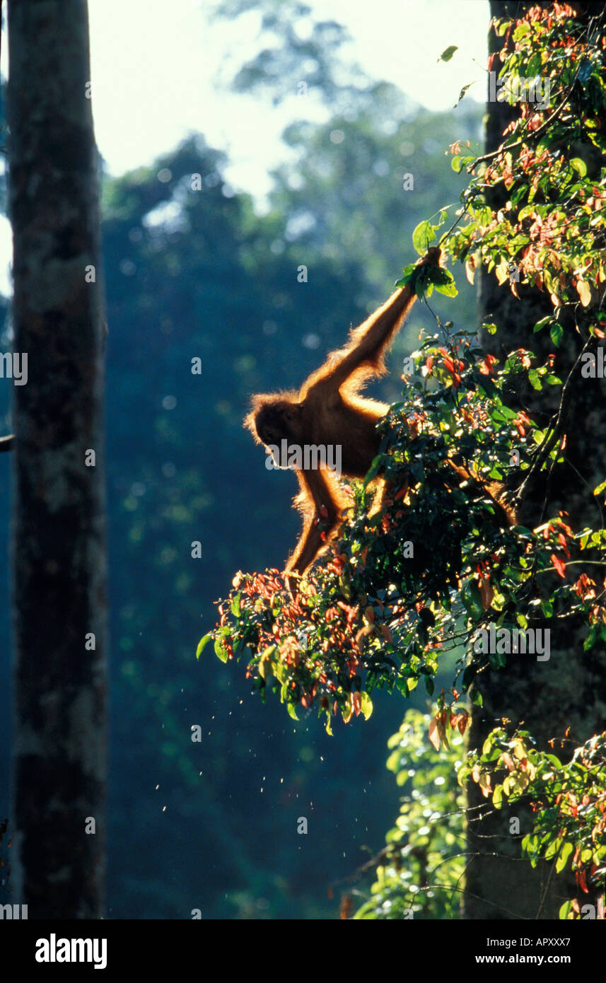 Young Orang-Utan, Pongo Pygmaeus, Gunung Leuser National Park, Sumatra, Indonesia, Asia Stock Photo