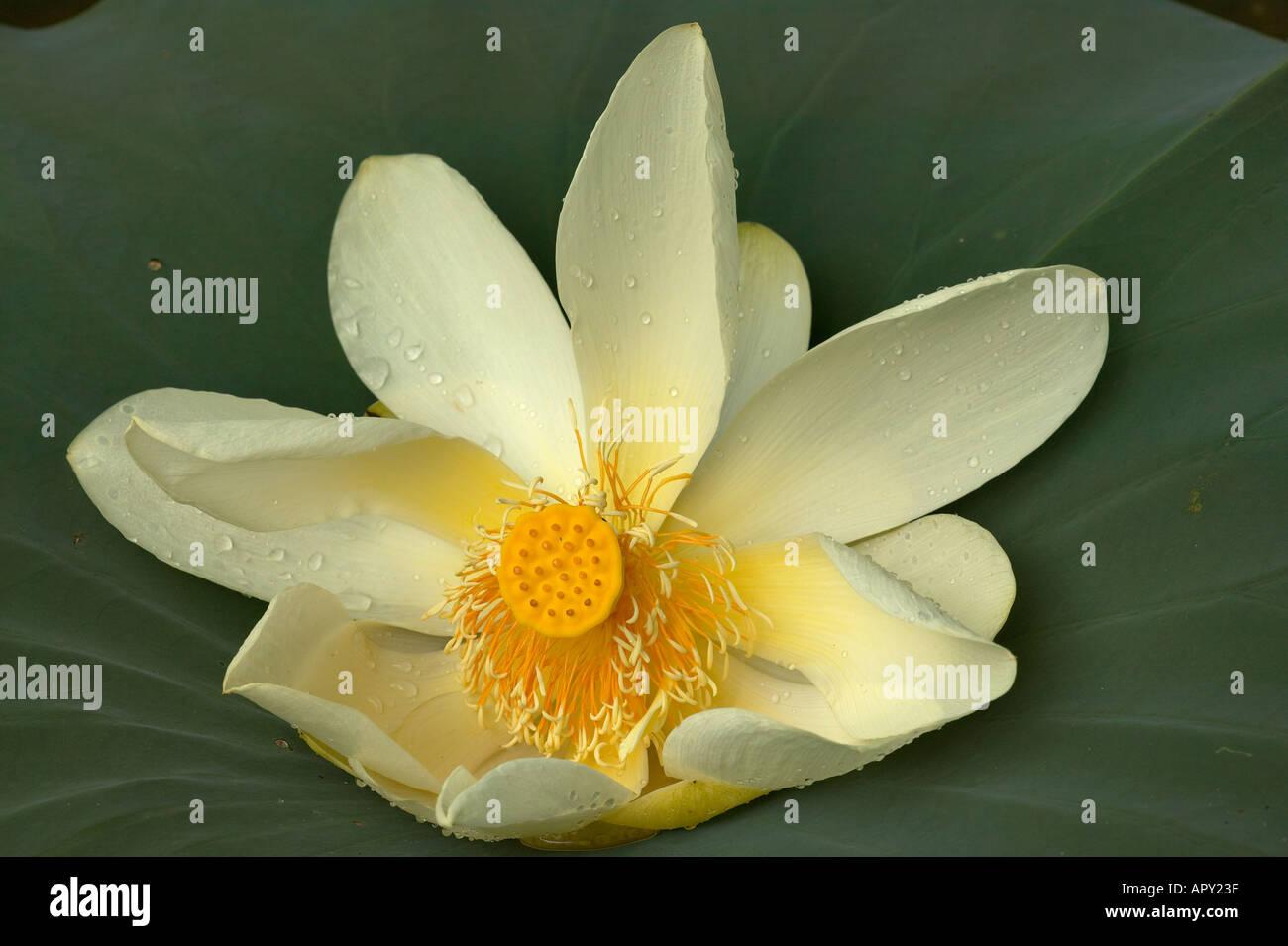 American Lotus Flower Stock Photos American Lotus Flower Stock