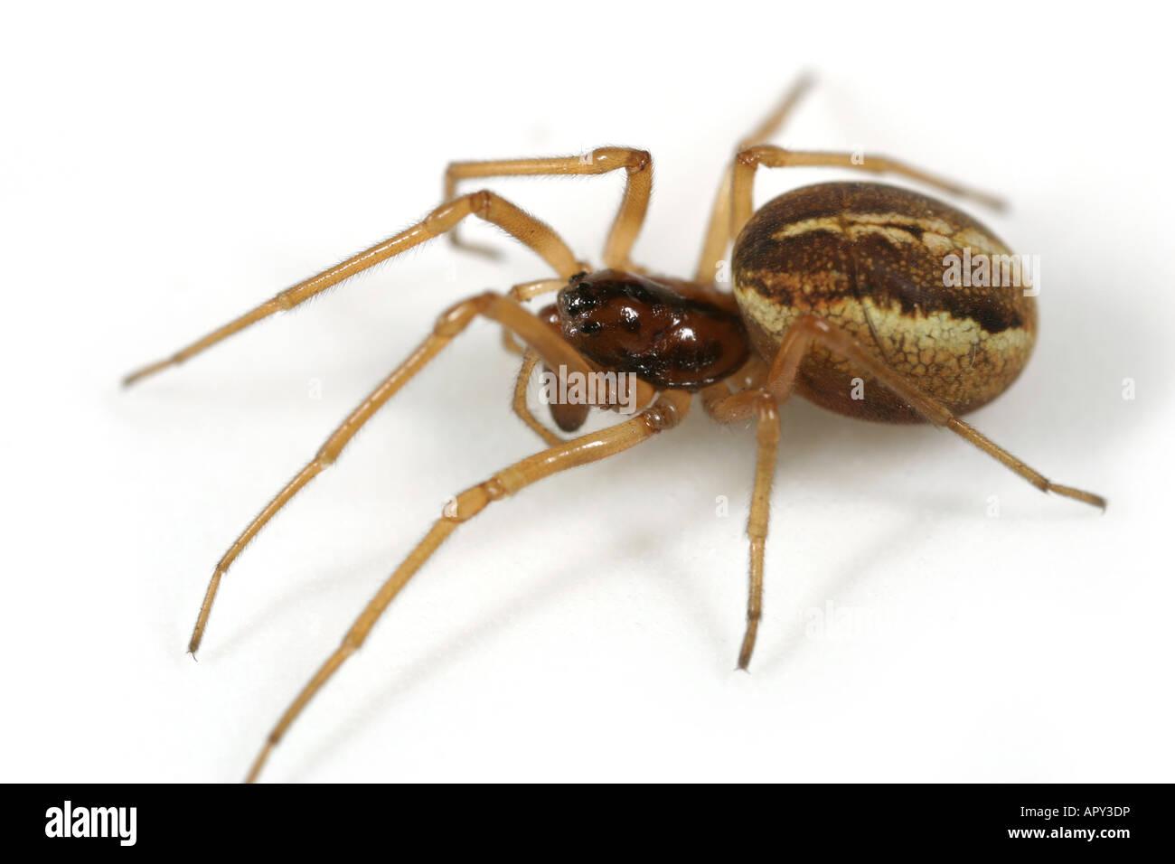 Female Pachyghatha clercki spider, Tetragnathidae family, on white background. - Stock Image