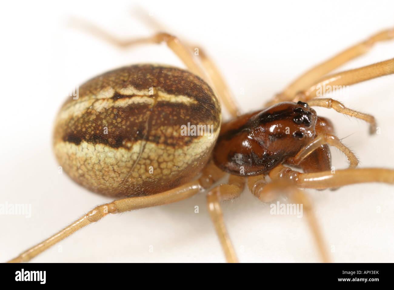 Female Pachygnatha clercki spider, Tetragnathidae family, on white background. - Stock Image