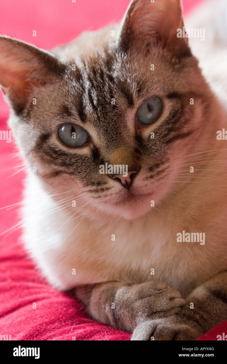 A beautiful blue-eyed cat lounges on a red blanket and looks intently at the viewer. - Stock Image