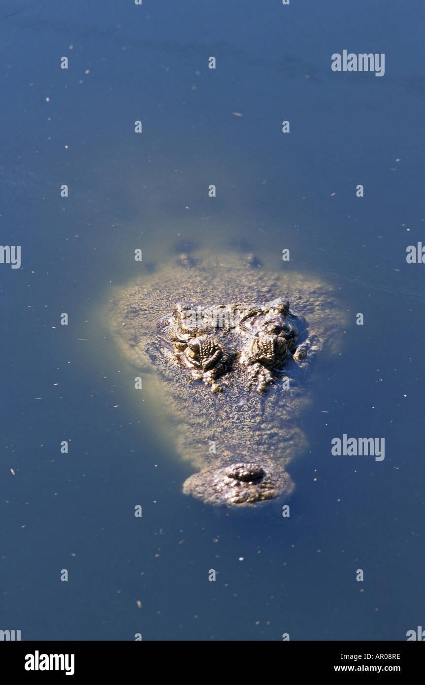 Estuarine Crocodile, Leistenkrokodil, Australien, Australia, Crocodile emerges from water, just the head, Krokodil taucht auf au - Stock Image